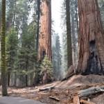 Sequoias near Congress trail12