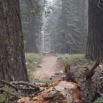 Trail amongst pines12