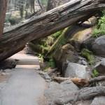 Trail under a fallen sequoia12