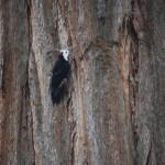 White-headed woodpecker12