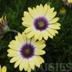 Daisy bushes12T1