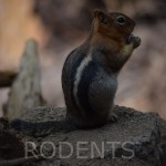Golden-mantled ground squirrel on a rock12Rodents