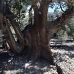Massive tree trunk12