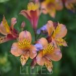 Peruvian Lily12T