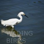 Snowy Egret in the water12WB
