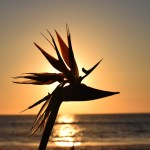 Sunset behind a bird of paradise12