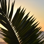Sunset behind palm leaf12