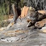 Wax on fallen tree trunk12