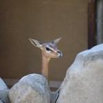 Gerenuk portrait12