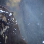 Giant River Otter under water12