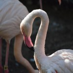 Greater Flamingo portrait12