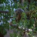 Koala sleeps on branches12