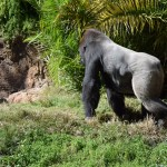 Male Western Lowland Gorilla12