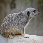 Meerkat close up12
