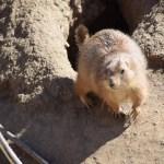 Prairie Dog12