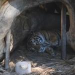 Resting Tiger12