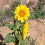 Sunflowers12