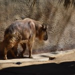 Walking Takin12