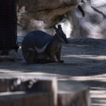 Yellow-footed Rock Wallaby12