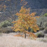 Yellow leafed tree towers over brown grassland12