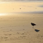 Spotted Redshank in the sunset12