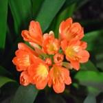 Kaffir Lilies closeup12