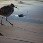 Long-billed Curlew at shore12