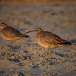Long-billed Curlews12