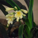 Yellow Kaffir Lily12