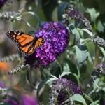 Monarch Butterfly on Purple Flower12