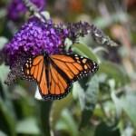 Monarch Butterfly12