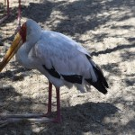 Yellow-billed Stork12