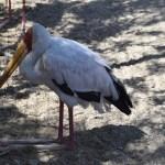 Yellow-billed Stork12