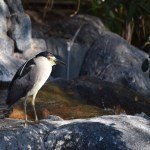 Black-crowned Night Heron12
