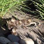 Ducklings12