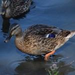 Female Mallard duck12