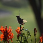 Hummingbird starts to open its wings12