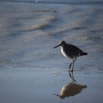 Sandpiper on the shore12