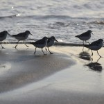 Sandpipers on the move12