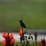 Singing hummingbird12