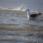 Swimming Seagull12
