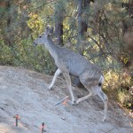 mule-deer-going-uphill12