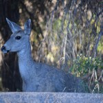 mule-deer-up-close12