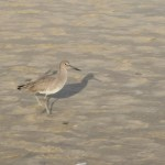 Sandpiper with its shadow12