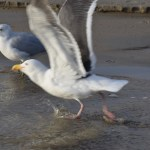 Seagull is taking off