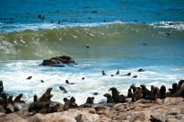 A colony of Cape Fur seals on the Skeleton Coast, Namibia