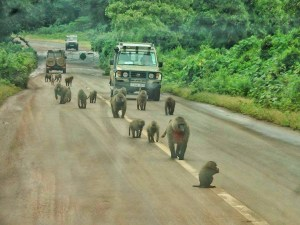 Unpredictable safari in Tanzania