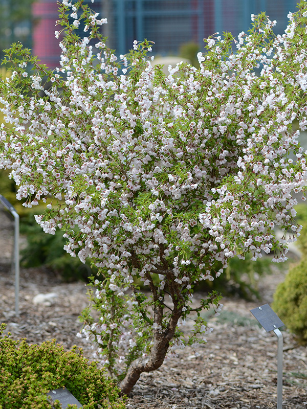 Prunus Kojo No Mai : prunus, World, Plants