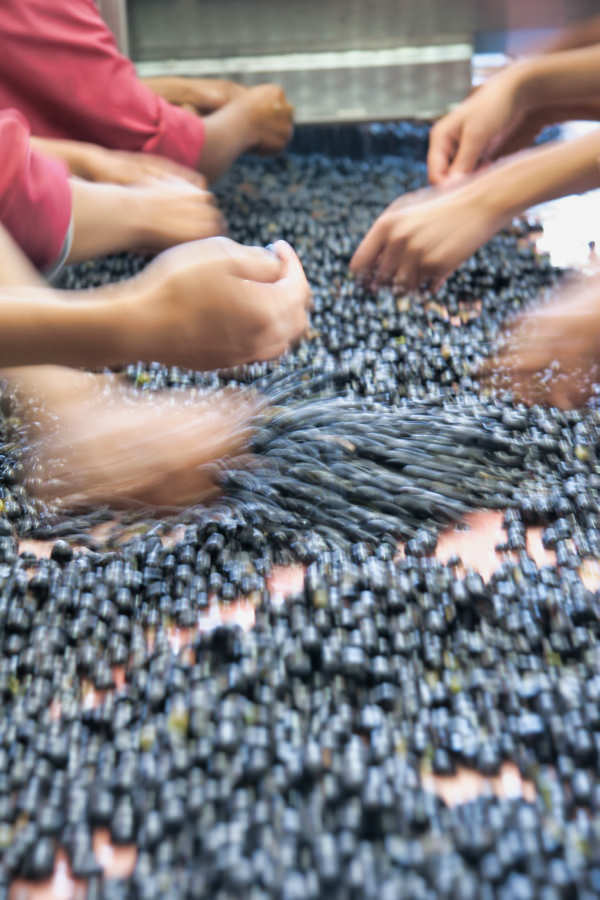 Angie Sorting Grapes