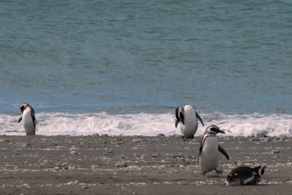 Plummin Penguins